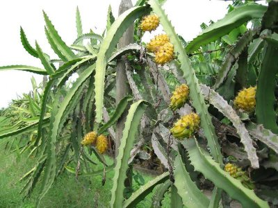 Yellow Dwarf Dragon Fruit Selenicereus Megalanthus Pitaya Cactus ...
